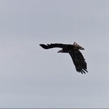 bald eagle at the dunes