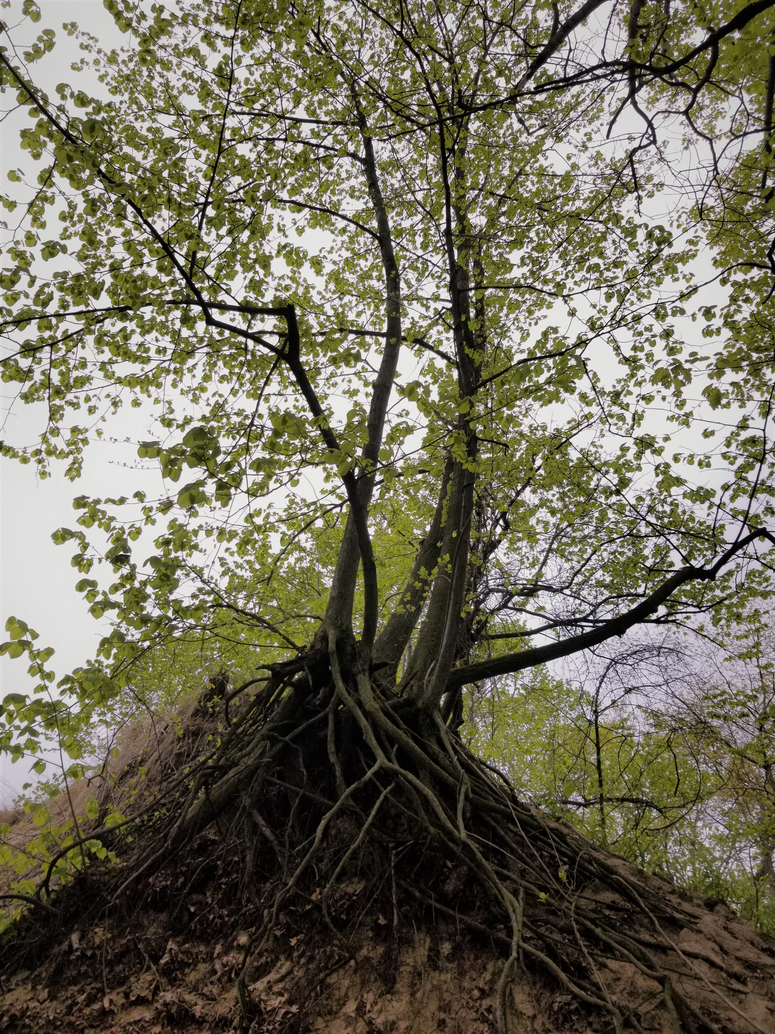 Uprooted rooted tree